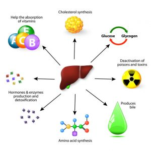 Liver plays a major role in metabolism with numerous functions in the human body, including detoxification of various metabolites, synthesis protein, Amino acid and cholesterol, deactivation of poisons and toxins, produces bile, help the absorption of vitamins, hormones & enzymes production and detoxification.