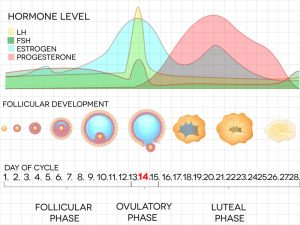 Illustrates hormone levels through female menstrual cycle